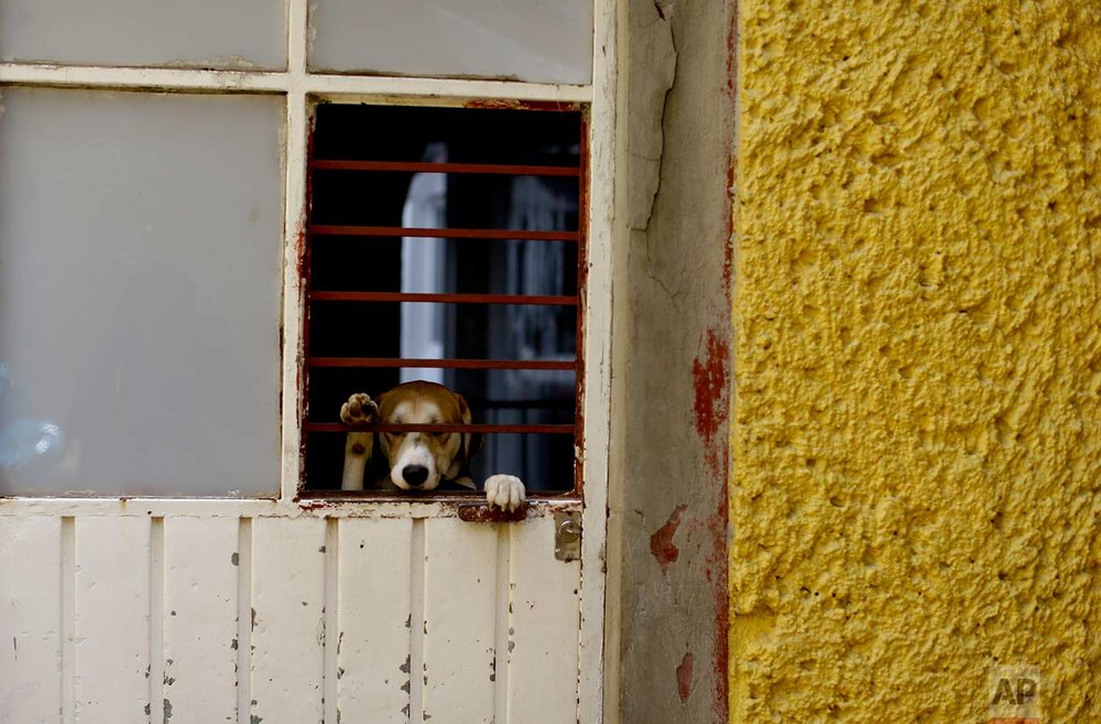 "A dog found wandering the streets in the aftermath of a 7.1-magnitude earthquake, stands on his hind legs, looking out from ""La Casa del Mestizo"" animal shelter, in Mexico City, Friday, Sept. 22, 2017. (AP Photo/Natacha Pisarenko)"