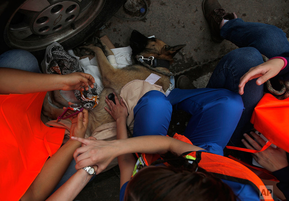 A rescue dog is helped to recuperate by volunteers after he became exhausted during search and rescue operations at a building felled by a 7.1 magnitude earthquake, in the Ciudad Jardin neighborhood of Mexico City, Thursday, Sept. 21, 2017. (AP Photo/Eduardo Verdugo)