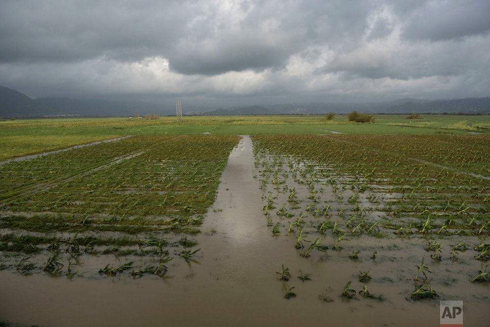 A field of plantains is flooded one day after the impact of Hurricane Maria in Yabucoa, Puerto Rico, Thursday, Sept. 21, 2017. (AP Photo/Carlos Giusti)