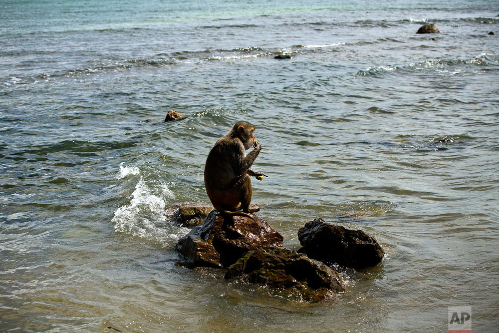 In this Wednesday, Oct. 4, 2017 photo, a monkey eats atop a rock off of Cayo Santiago, known as Monkey Island, in Puerto Rico, one of the world's most important sites for research into how primates think, socialize and evolve. (AP Photo/Ramon Espinosa)