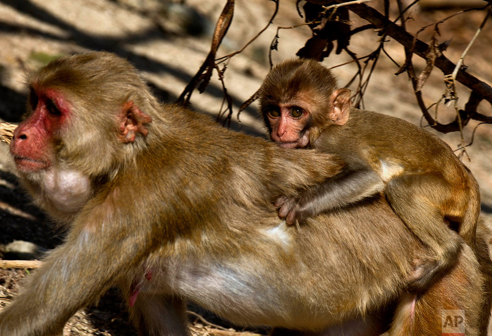 In this Wednesday, Oct. 4, 2017 photo, a female monkey carries her baby on her back on Cayo Santiago, known as Monkey Island, in Puerto Rico, one of the world's most important sites for research into how primates think, socialize and evolve. (AP Photo/Ramon Espinosa)