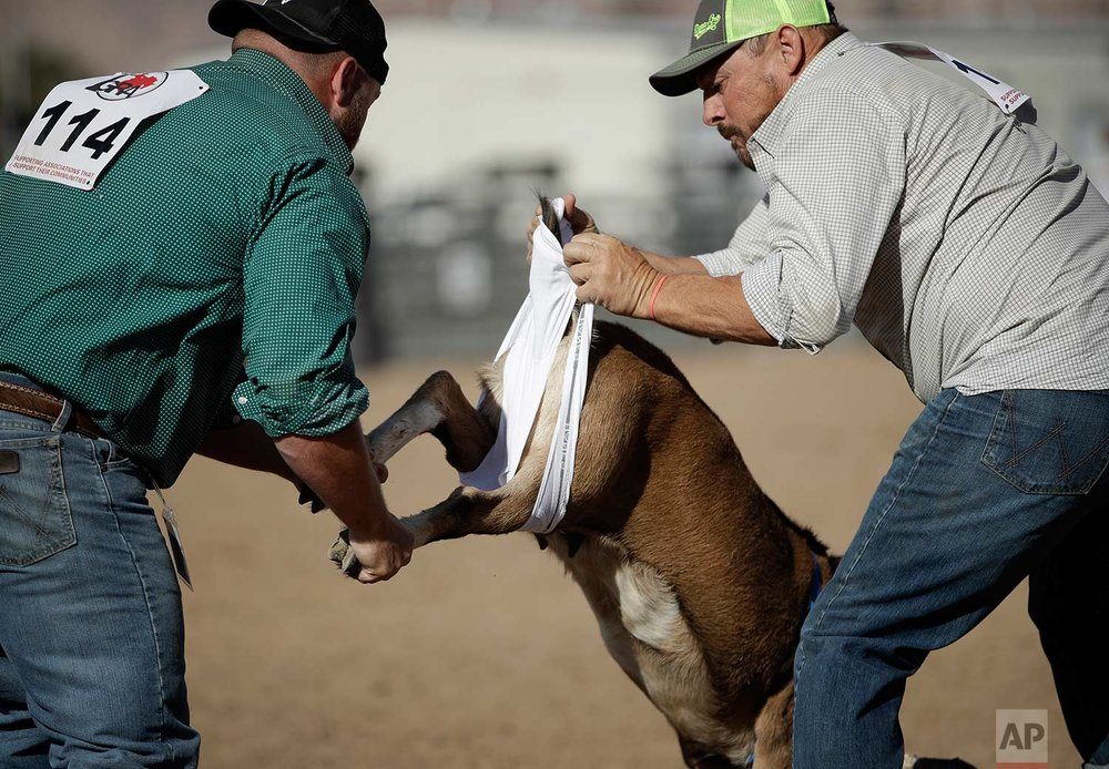 In this Sept. 23, 2017, photo, Luke D, left, and Sammy Simpkin compete in the goat dressing event at the Bighorn Rodeo in Las Vegas. (AP Photo/John Locher)
