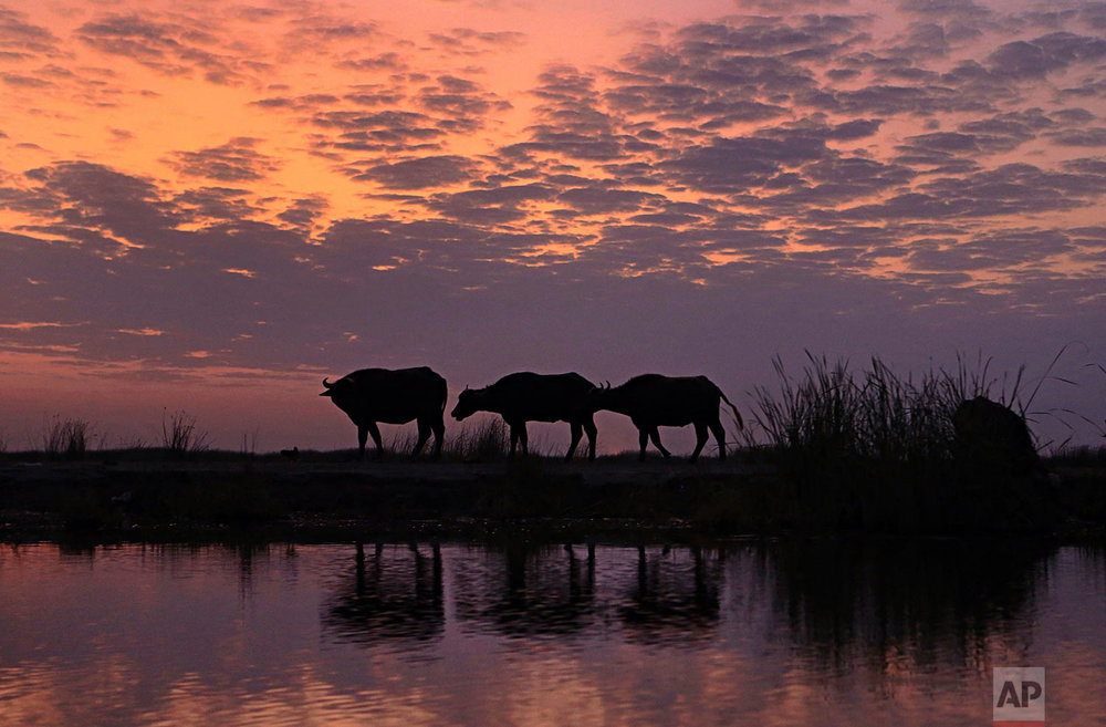 In this Monday, Sept. 11, 2017 photo, water buffalo walk on the bank during sunset in the Chabaish marsh in Nasiriyah, about 200 miles (320 kilometers) southeast of Baghdad, Iraq. Iraq's southern marshes, a lush remnant of the cradle of civilization, were reborn after the 2003 fall of Saddam Hussein when residents dismantled dams he had built a decade earlier to drain the area in order to root out Shiite rebels. But now the largest wetlands in the Middle East are imperiled again, by government mismanagement and new upstream projects.(AP Photo/Nabil al-Jurani)