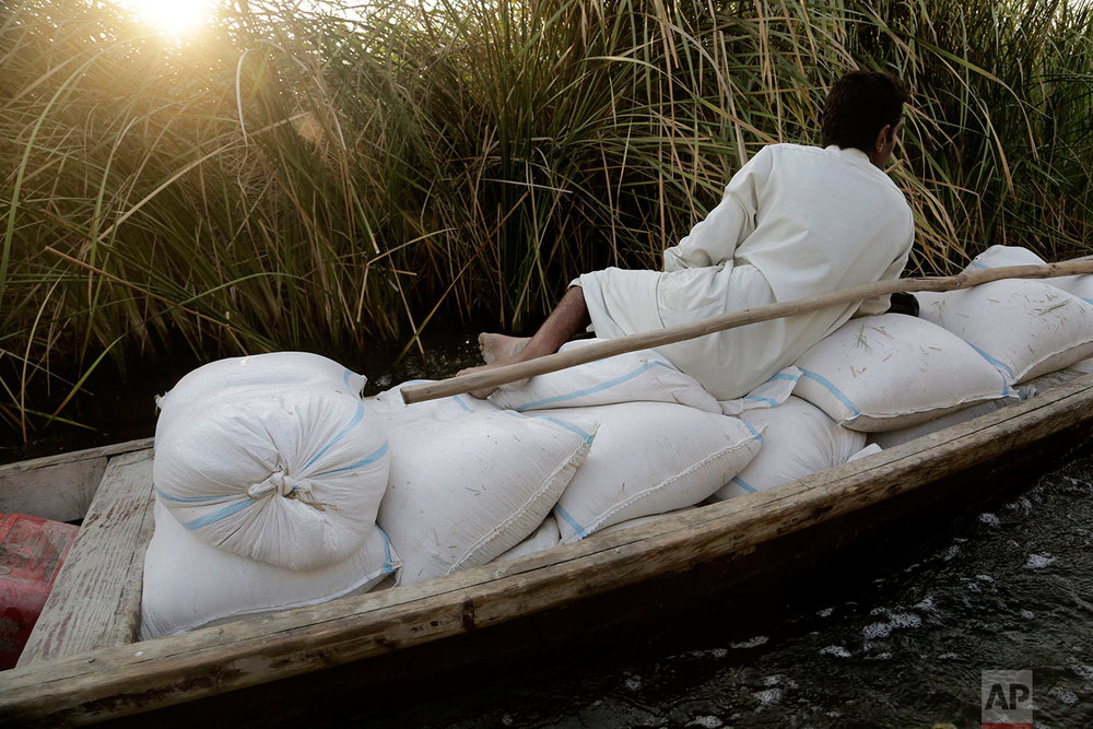 In this Sept. 10, 2017 photo, a farmer transports feed for livestock along a canal in Iraq's southern marshes in Chabaish, Iraq. The majority of the wetland's inhabitants raise water buffalo and fish to support their families but due to decreased water quality and low fish yields, the region is mired in poverty. (AP Photo/Susannah George)