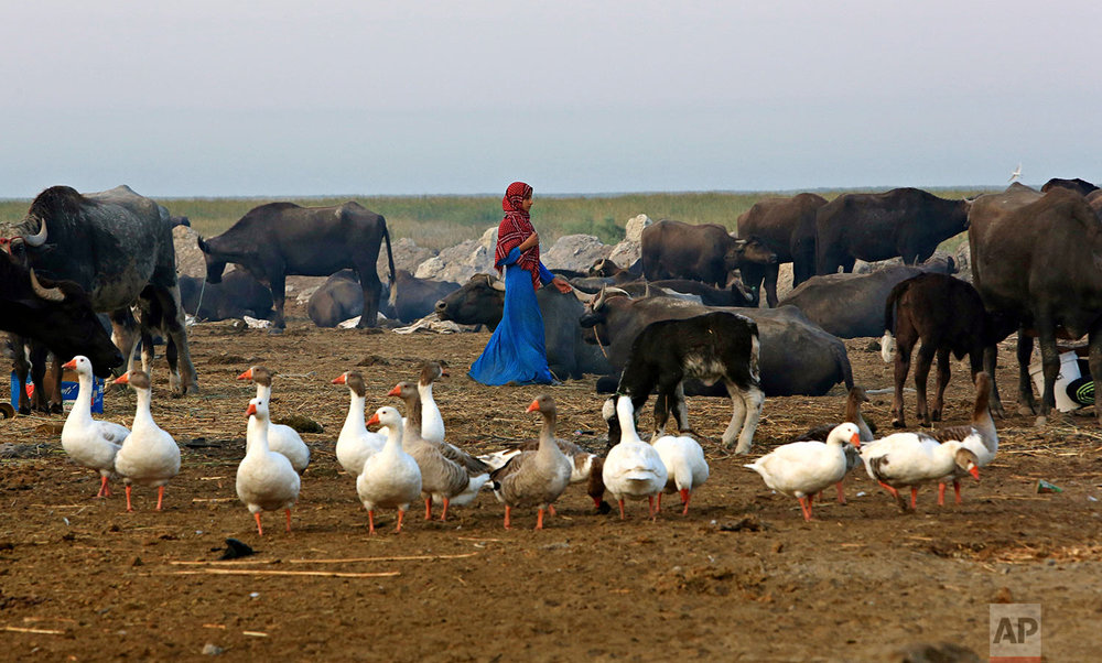 In this Monday, Sept. 11, 2017 photo, water buffalo and ducks gather in an island paddock during the sunset in the Chabaish marsh in Nasiriyah, about 200 miles (320 kilometers) southeast of Baghdad, Iraq. (AP Photo/Nabil al-Jurani)