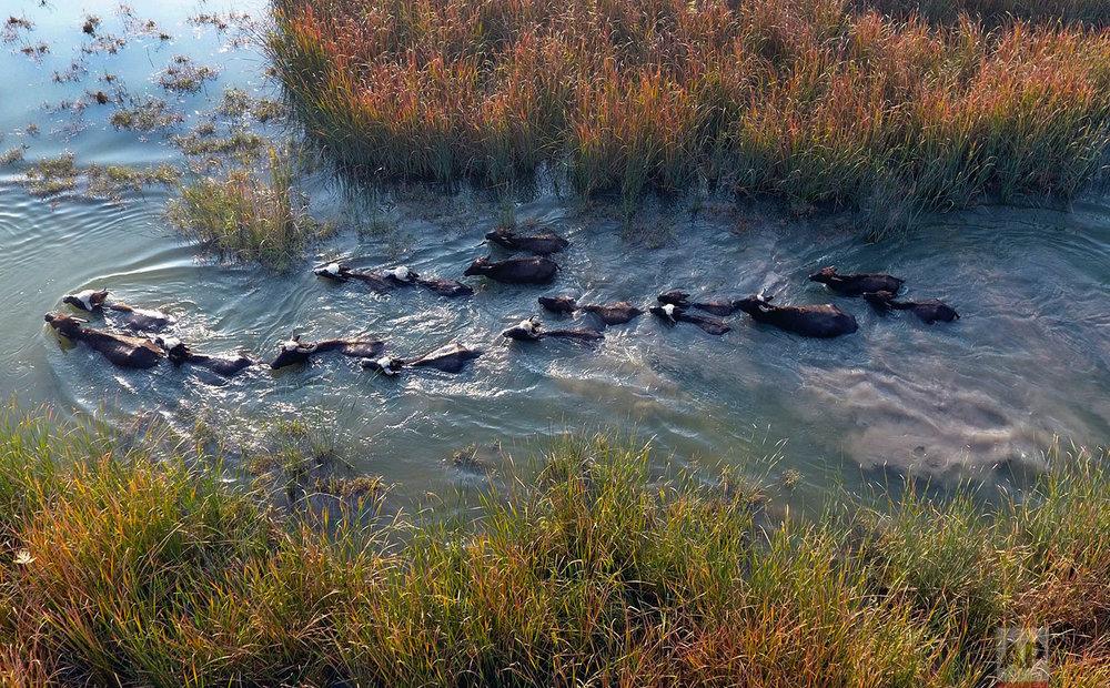 Water buffalo wade in the Chabaish marsh in the Maysan province of southern Iraq, Saturday, Jan. 7, 2017. (AP Photo/ Nabil al-Jurani)