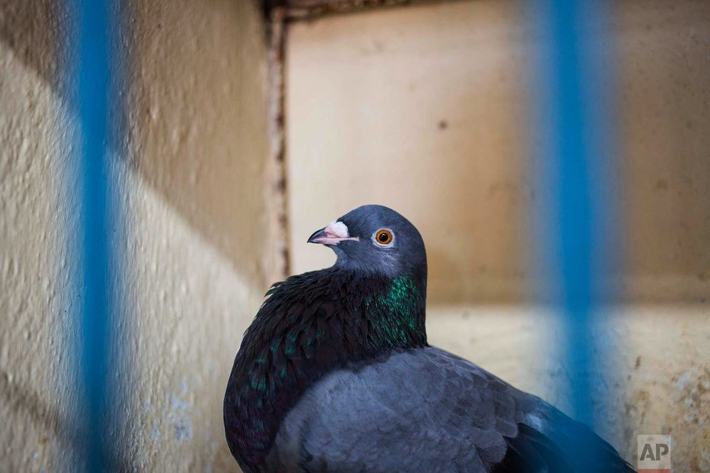 In this Saturday, Nov. 4, 2017 photo, a pigeon belonging to Ernesto Eng Lopez sits in its cage on his rooftop in Havana, Cuba. (AP Photo/Desmond Boylan)