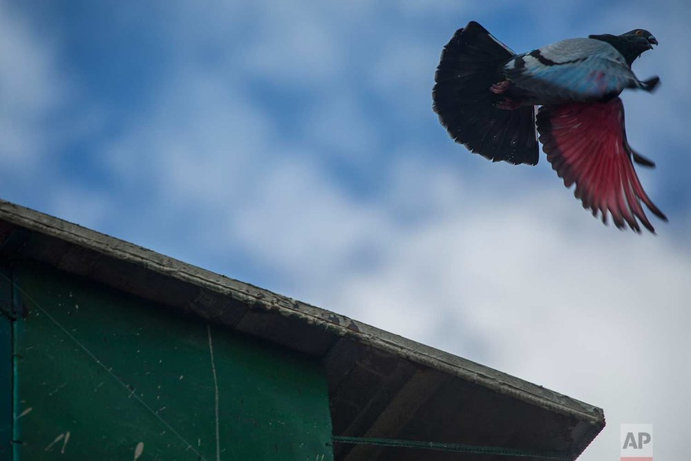 In this Saturday, Nov. 4, 2017 photo, racing pigeon The Mexican, with its wings dyed red, takes off from its enclosure on a rooftop in Havana, Cuba. (AP Photo/Desmond Boylan)