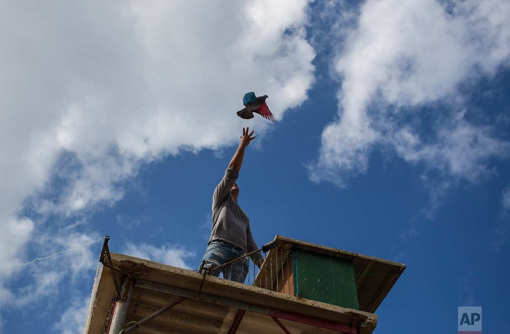 In this Saturday, Nov. 4, 2017 photo, pigeon breeder Eduardo Montufar lets loose his pigeon named The Mexican, whose wings were dyed red and blue, from his home's roof in Havana, Cuba. (AP Photo/Desmond Boylan)