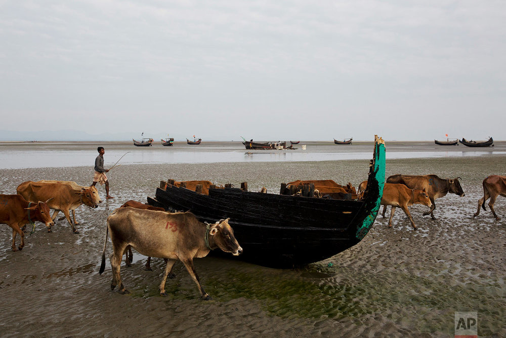 In this Nov. 5, 2017, photo, cows walk past a broken wooden boat, previously used by Rohingya Muslims, at Shah Porir Dwip, Bangladesh. (AP Photo/Bernat Armangue)