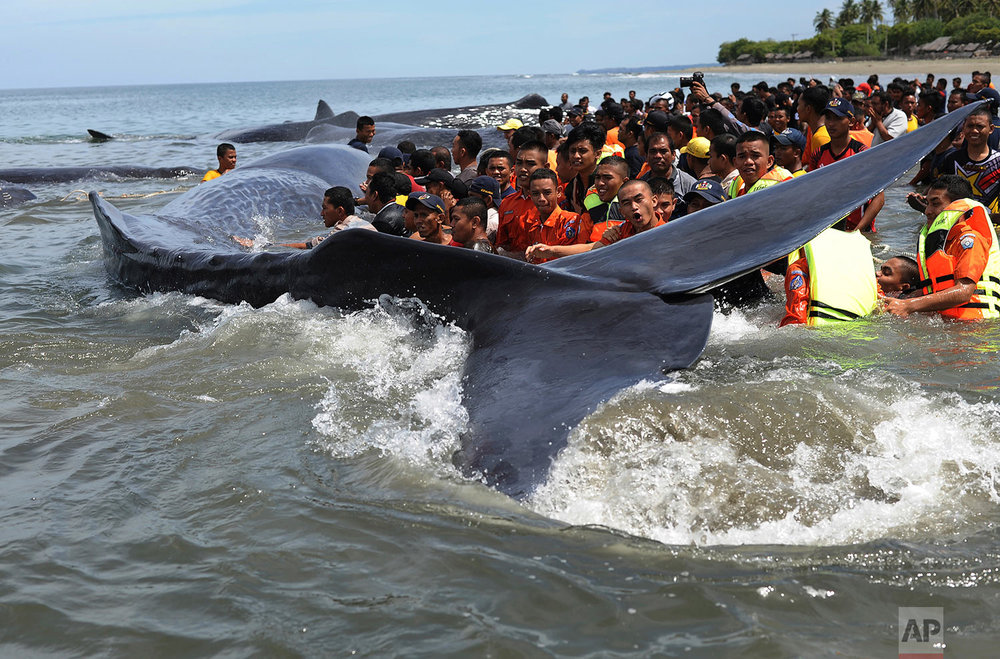 Indonesia Beached Whales