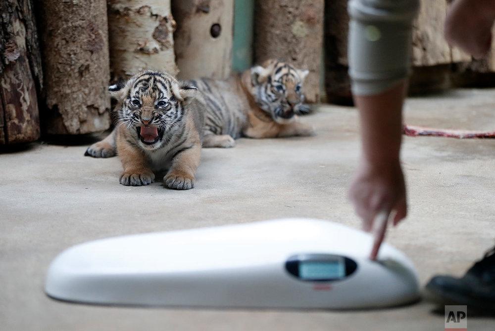 Czech Republic Tiger Cubs