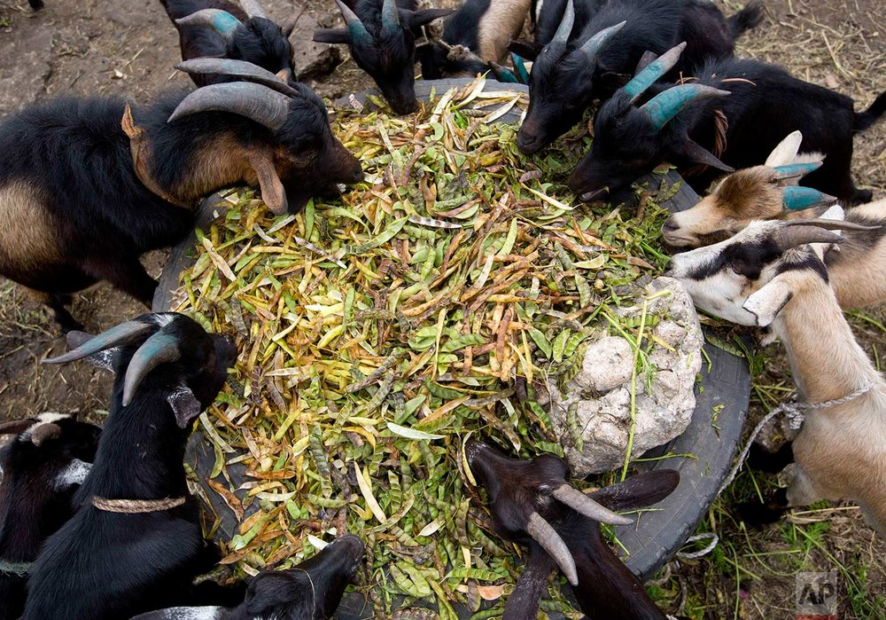 In this Nov. 10, 2017 photo, goats munch on soybean pods at the La Saline slaughterhouse, in Port-au-Prince, Haiti. (AP Photo/Dieu Nalio Chery)