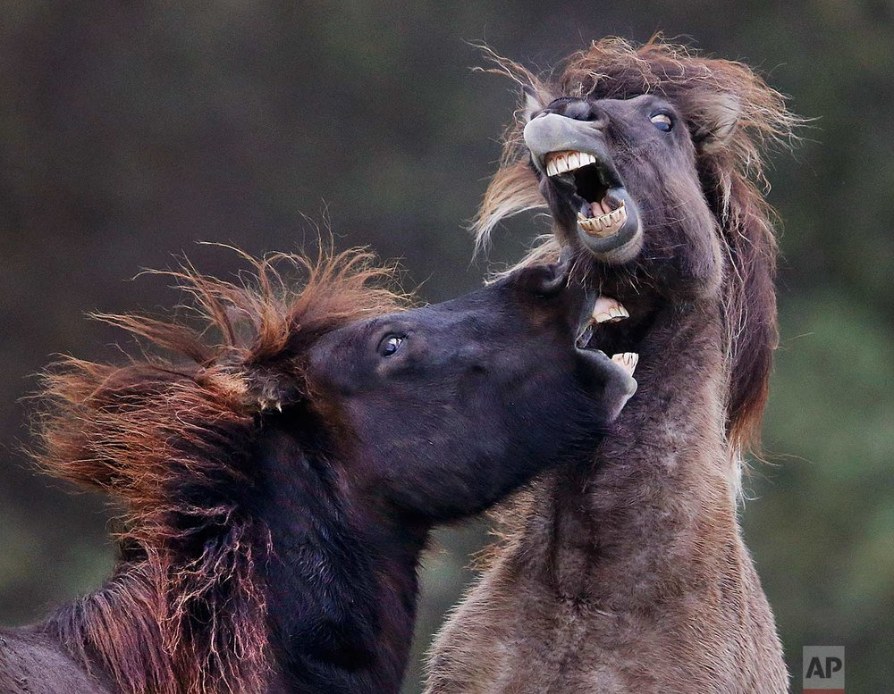 In this Thursday, Oct. 26, 2017 photo, two Icelandic horses play in their paddock in Wehrheim, near Frankfurt, Germany. (AP Photo/Michael Probst)