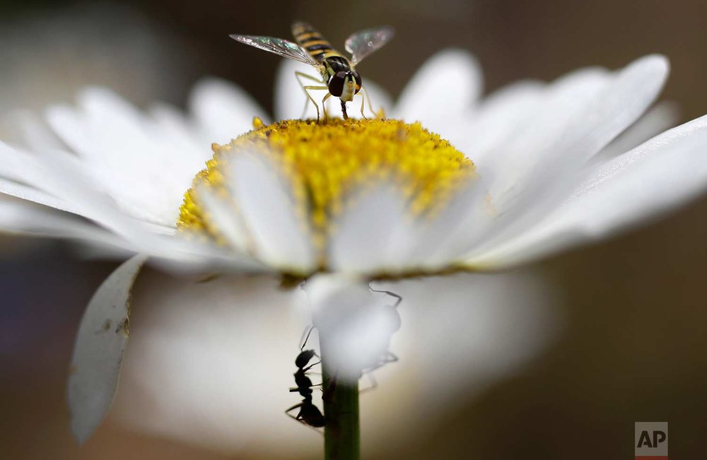 In this Friday, July 21, 2017 photo, a fly, above, and the ant feed on chamomile nectar in a field on the outskirts of Minsk, Belarus, during a sunny summer's day. (AP Photo/Sergei Grits)
