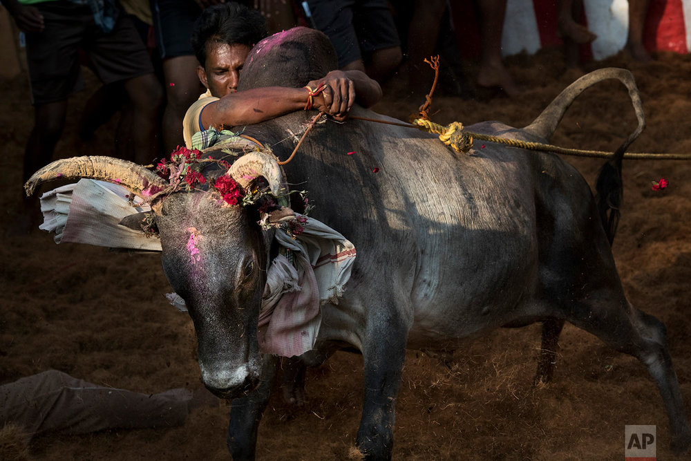 In this Feb. 10, 2017 photo, a tamer tries to control a bull during the Jallikattu festival, in the village of Allanganallur, near Madurai, Tamil Nadu state, India. One by one the bulls are led to a small shack at one end of the packed arena and the back door is shut. The bull runs out into the crowds as spectators cheer loudly and commentary on the bull run plays loudly over a microphone. (AP Photo/Bernat Armangue)