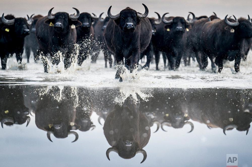 Hungary Buffaloes