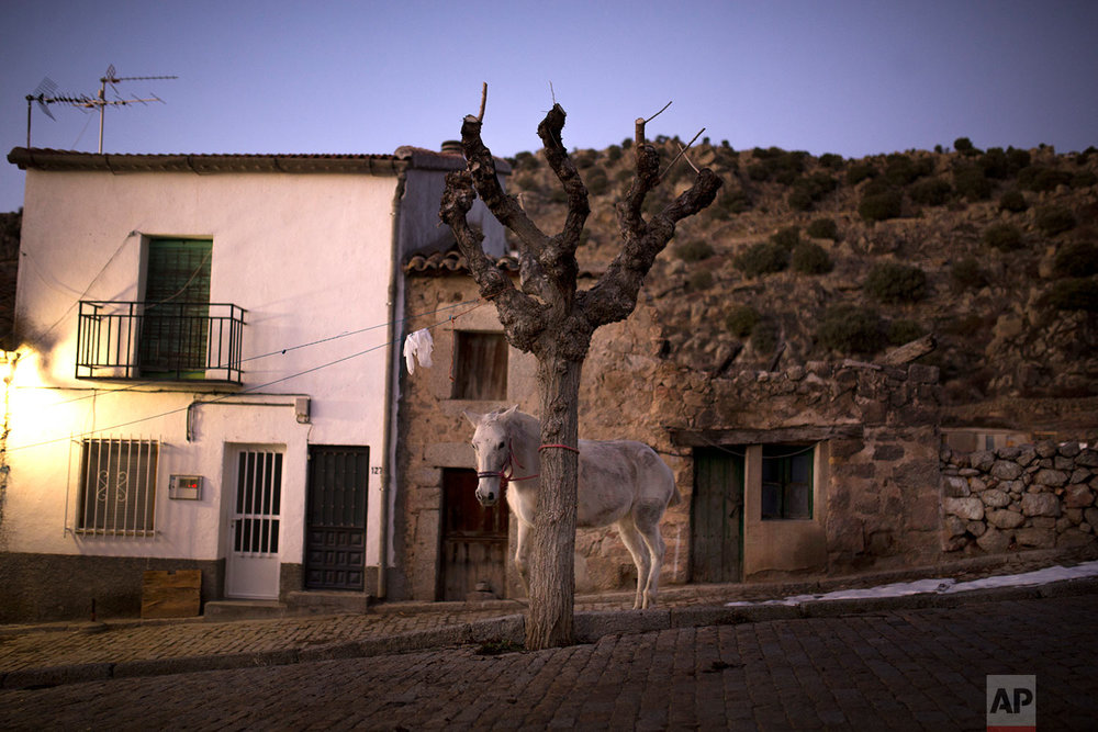 A horse stands by a tree before the ritual in honor of Saint Anthony the Abbot in San Bartolome de Pinares, Spain, Tuesday, Jan. 16, 2018. (AP Photo/Francisco Seco) |  See these photos on AP Images