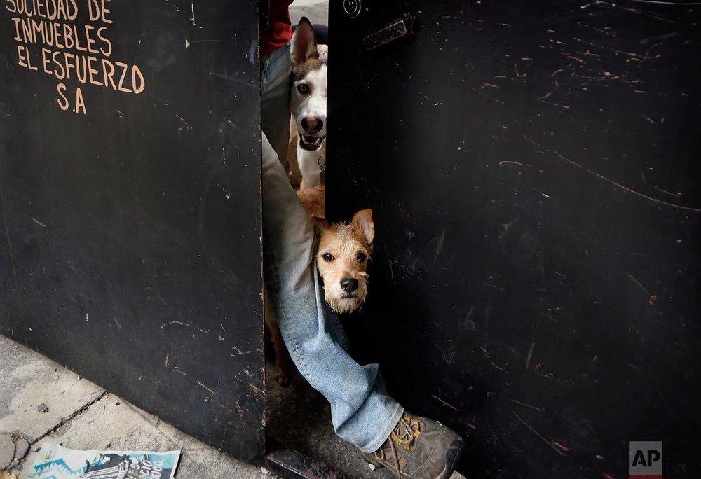 "In this Saturday, Dec. 23, 2017 photo, a dog peeks out the door of the shelter run by Jair Benavides and Mariam Gutierrez de Velasco in Mexico City. ""They are part of my life,"" says Miriam. ""They have taught me unconditional love."" (AP Photo/Marco Ugarte)"