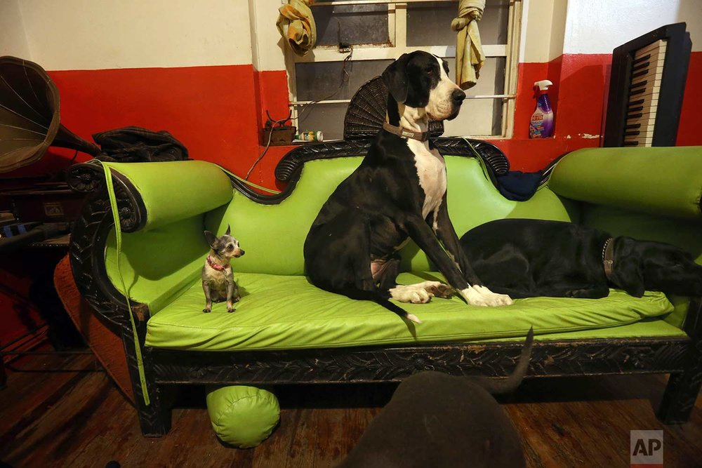 In this Wednesday, Dec. 26, 2017 photo, Azucar the Chihuahua, Bimba, the Great Dane, and another pet sit on the family couch at their home and shelter in Mexico City. The shelter has about 20 dogs, and a pig, and regularly take in strays, whose numbers vary because they are quickly trained and put up for adoption. (AP Photo/Marco Ugarte)