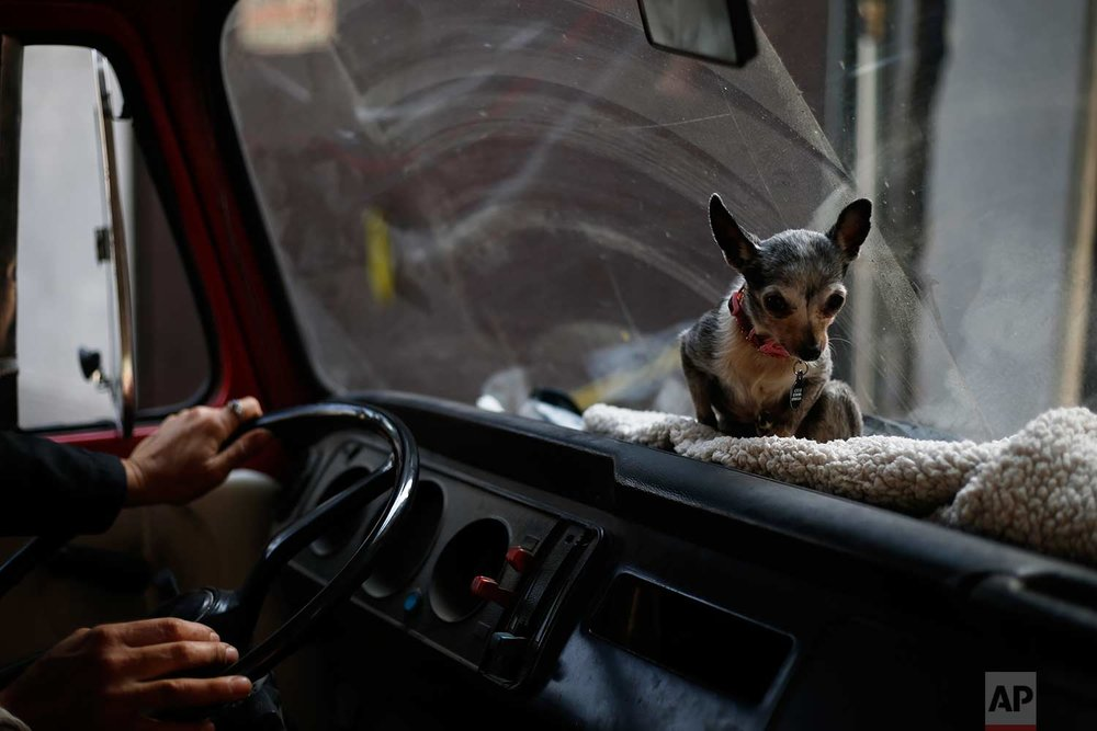 In this Wednesday, Dec. 24, 2017 photo, Azucar the chihuahua takes her spot aboard the family Volkswagen van before a trip, in Mexico City. The whole pack is quite a sight to see when they go to nearby parks for walks in a patched-up old van. (AP Photo/Marco Ugarte)