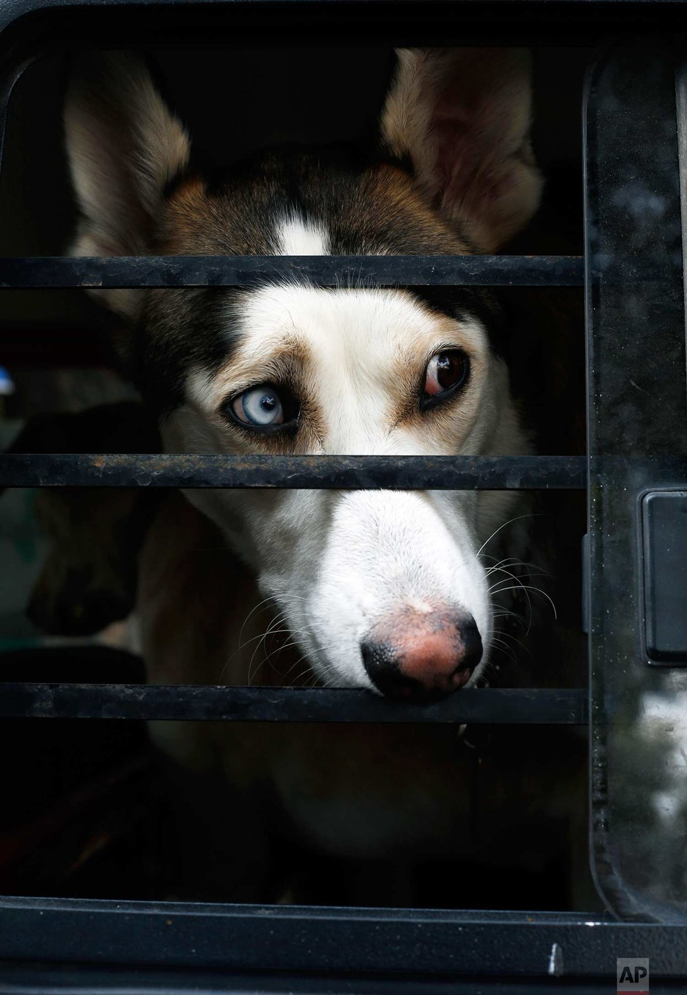 In this Wednesday, Dec. 24, 2017 photo, Ash the dog looks out a window from the family Volkswagen van before a trip, in Mexico City. Ash is one of dozens of dogs that are taken care of by Jair Benavides and Mariam Gutierrez de Velasco at their shelter in Mexico City. (AP Photo/Marco Ugarte)