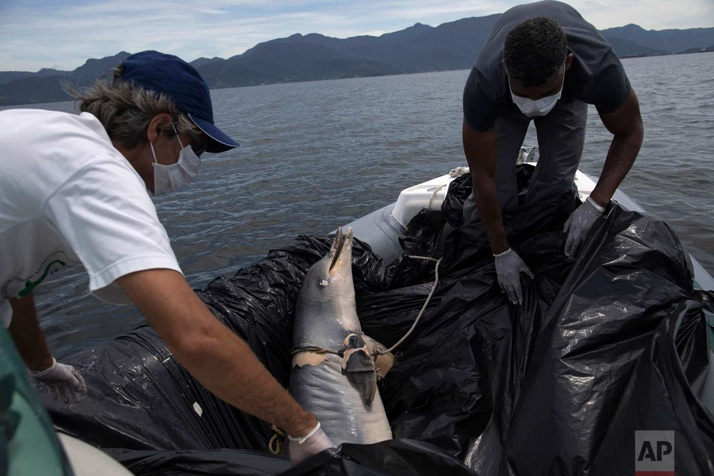 In this Thursday, Jan. 11, 2018 photo, Leonardo Flach, left, a Gray Dolphin Institute scientist, and assistant Luis Guilherme, place the carcass of a guiana dolphin in a boat after they recovered it from the coast on the Bay of Sepetiba, Brazil. (AP Photo/Leo Correa)