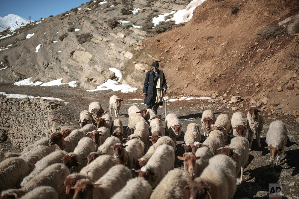 In this Wednesday, Feb. 14, 2018 photo, a shepherd guides his sheep through snow covered mountains in Tighanmin, a Middle Atlas village near Azilal, central Morocco.(AP Photo/Mosa'ab Elshamy)