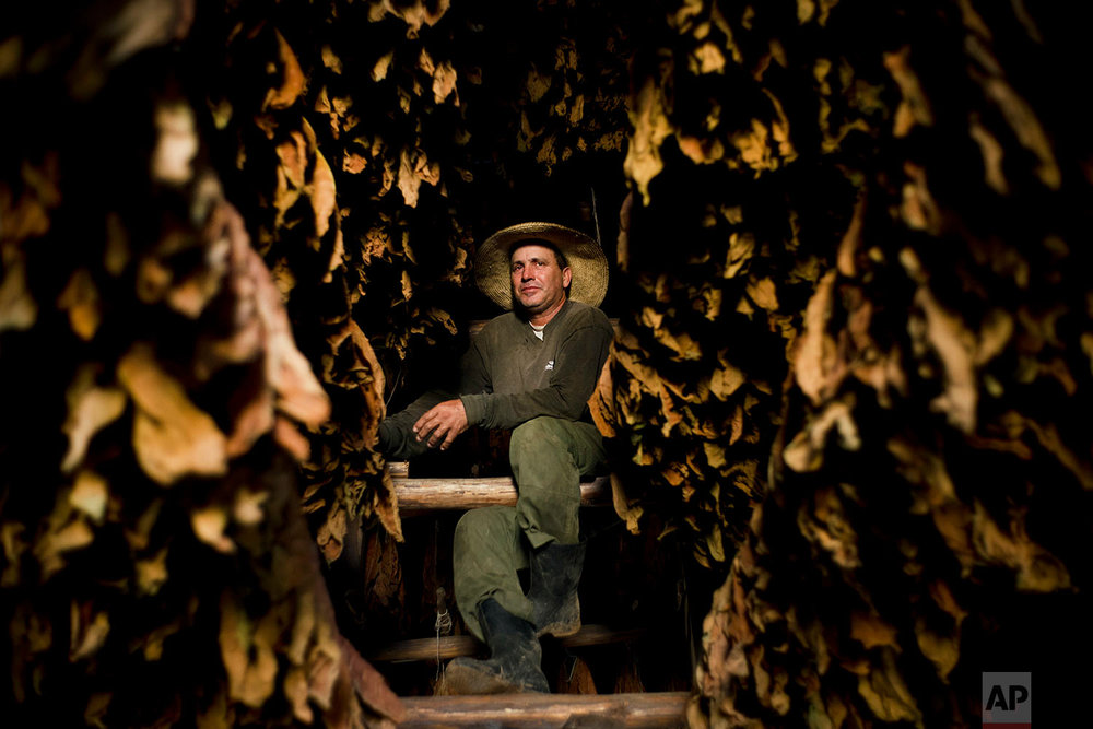 In this Feb. 27, 2018 photo, Roberto Armas Valdes poses with dry tobacco leaves in a warehouse at the Martinez tobacco farm, in Cuba's western province of Pinar del Rio. (AP Photo/Ramon Espinosa)
