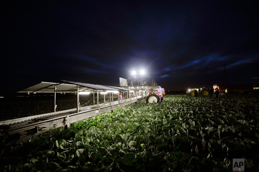 In this March 6, 2018 picture, farmworkers harvest cabbage before dawn in a field outside of Calexico, Calif. (AP Photo/Gregory Bull)
