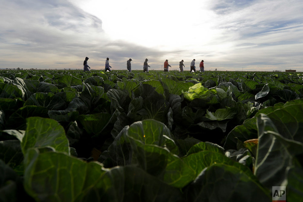 In this March 6, 2018 picture, farmworkers walk through a field of cabbage during harvest outside of Calexico, Calif.  (AP Photo/Gregory Bull)