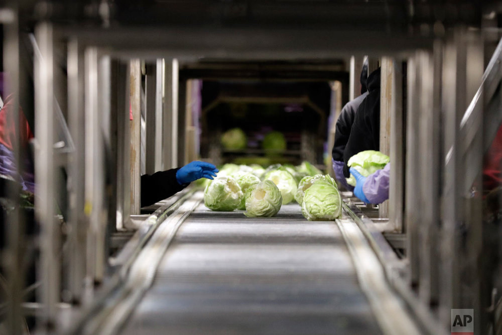 Farmworkers harvest cabbage outside of Calexico, Calif., March 6, 2018.