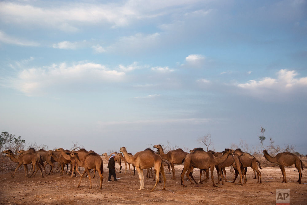 In this Monday, Jan. 22, 2018 photo, Ali El Guran checks his camels as they back to the night camp after grazing all day in the open field at the territory of Israeli Kibbutz Kalya, near the Dead Sea in the West Bank. (AP Photo/Oded Balilty)