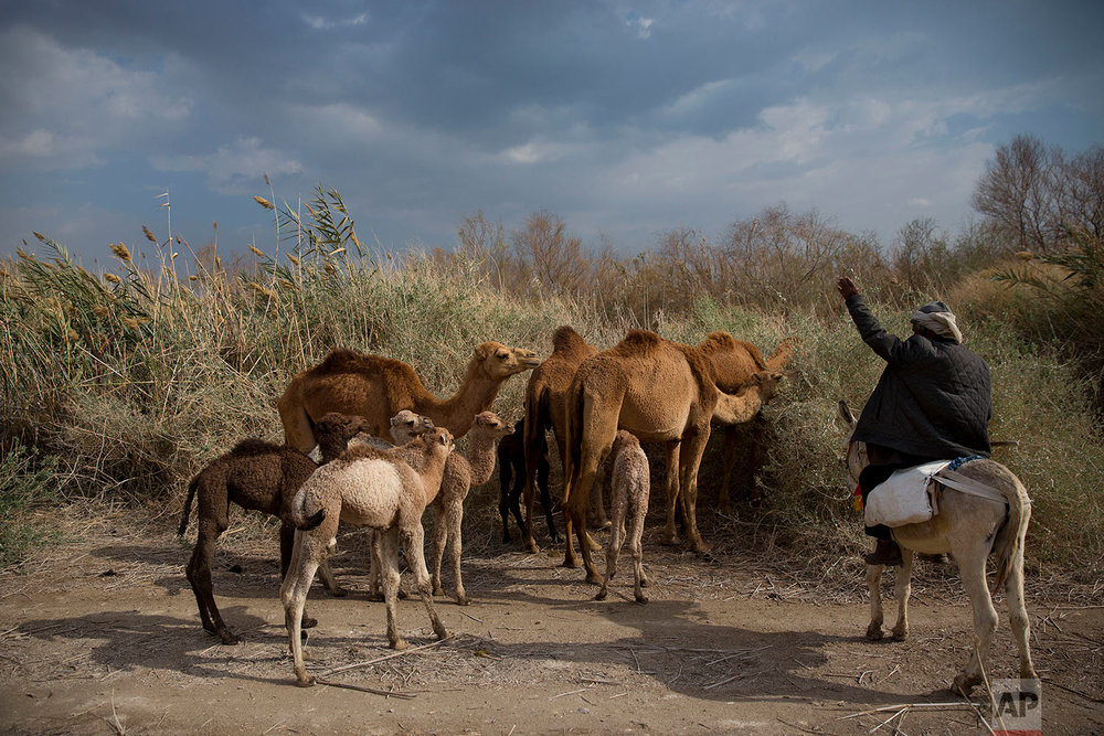In this Sunday, Feb. 18, 2018 photo, Palestinian camel herder Salem Rashaideh, leads the way for the camels in the territory of Israeli Kibbutz Kalya, near the Dead Sea in the West Bank. (AP Photo/Oded Balilty)
