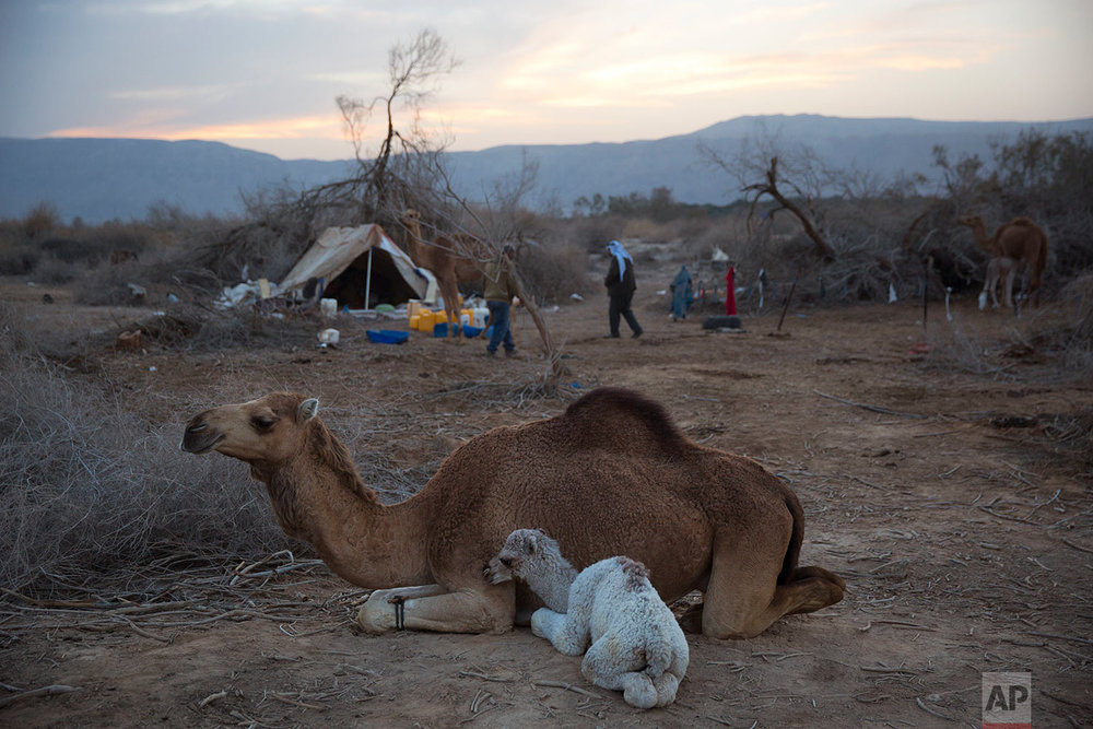 In this Monday, Jan. 22, 2018 photo, a newborn camel and his mother rest as back to the night camp after grazing all day in the open field at the territory of Israeli Kibbutz Kalya, near the Dead Sea in the West Bank. (AP Photo/Oded Balilty)