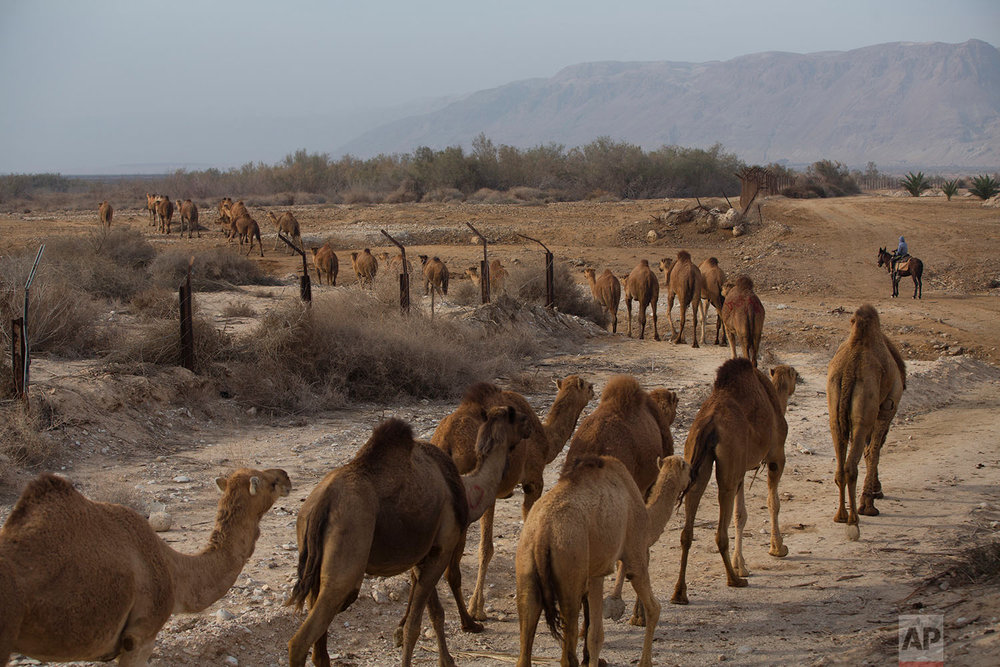 In this Saturday, Feb. 10, 2018 photo, Beduin camels herder Ali Zarlul and his son Majed lead their camels at the territory of Israeli Kibbutz Kalya, near the Dead Sea in the West Bank. (AP Photo/Oded Balilty)