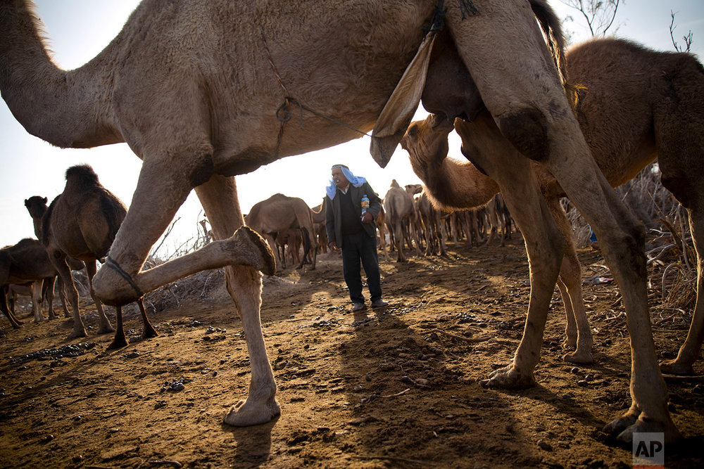 In this Monday, Jan. 22, 2018 photo, a camel feeds her young at the territory of Israeli Kibbutz Kalya, near the Dead Sea in the West Bank. (AP Photo/Oded Balilty)