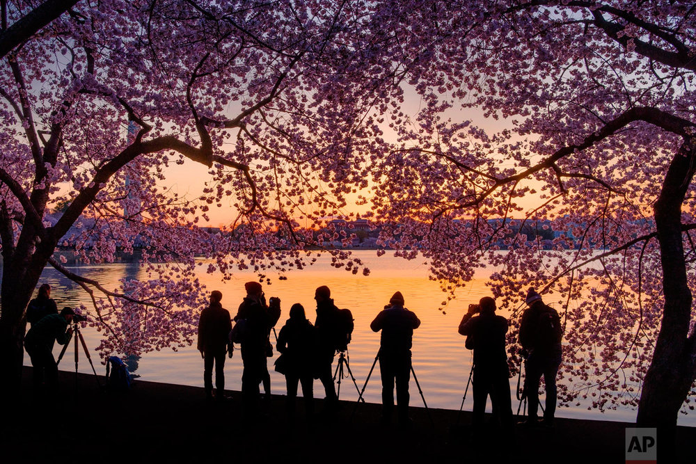 Photographers line up along the edge of the Tidal Basin in Washington to shoot the blossoming cherry trees at sunrise, Thursday, April 5, 2018. (AP Photo/J. David Ake)