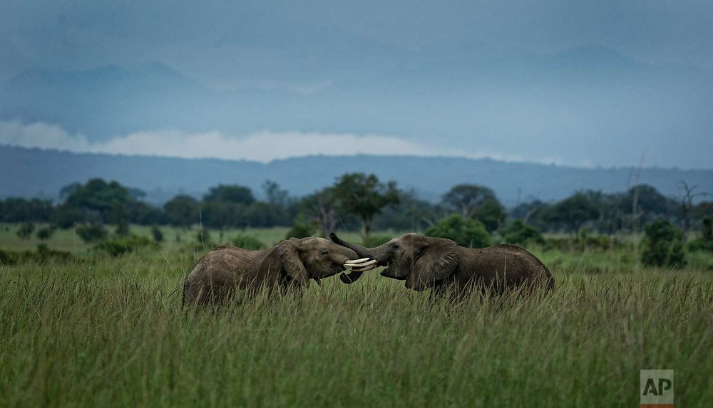In this photo taken Tuesday, March 20, 2018, two young elephants play in Mikumi National Park, Tanzania. (AP Photo/Ben Curtis)