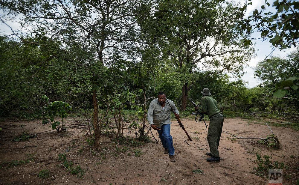 In this photo taken Friday, March 23, 2018, wildlife veterinarian Ernest Mjingo, center, runs as an elephant starts to charge toward him after being darted with a tranquilizer during an operation to attach GPS tracking collars, near Mikumi National Park, Tanzania. (AP Photo/Ben Curtis)