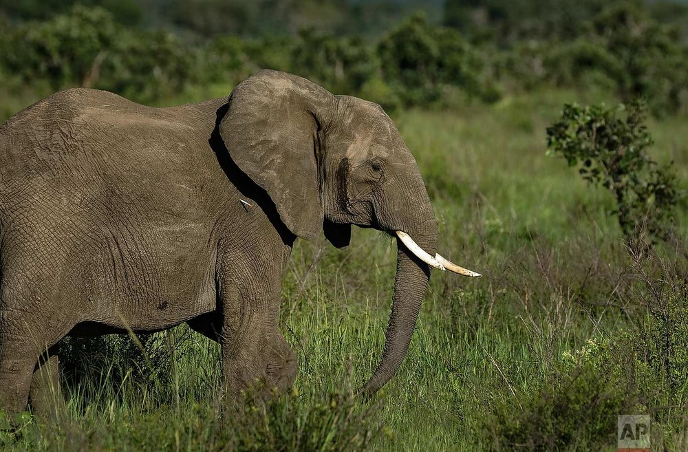 In this photo taken Wednesday, March 21, 2018, a dart containing the elephant tranquilizer etorphine hydrochloride strikes the side of an elephant during an operation to attach GPS tracking collars to them, in Mikumi National Park, Tanzania. (AP Photo/Ben Curtis)