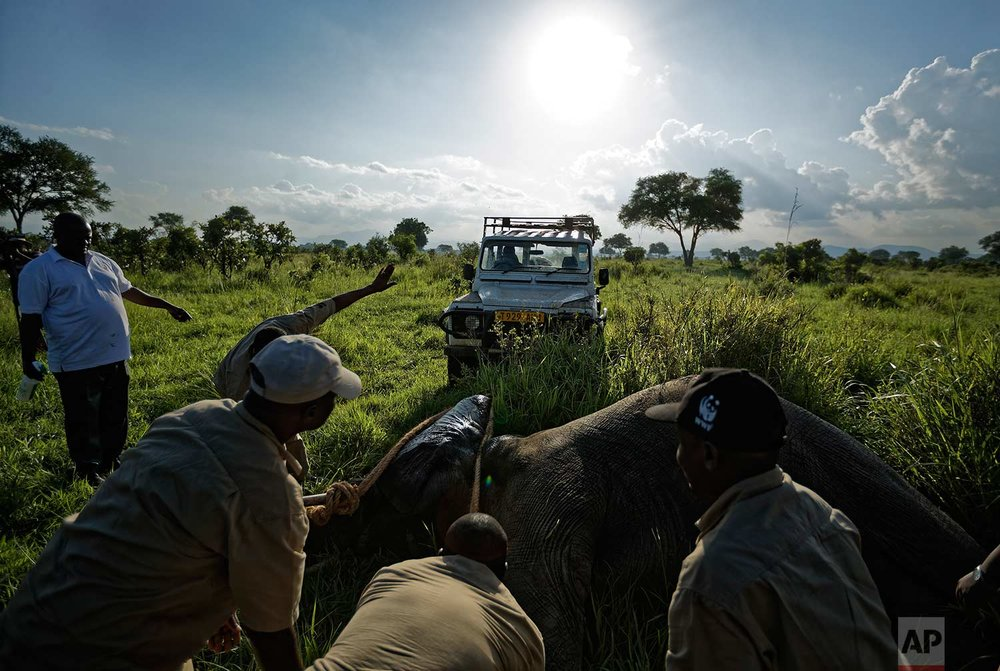 In this photo taken Wednesday, March 21, 2018, a team of wildlife veterinarians use a 4x4 vehicle and a rope to turn over a tranquilized elephant in order to attach a GPS tracking collar and remove the tranquilizer dart, in Mikumi National Park, Tanzania. (AP Photo/Ben Curtis)