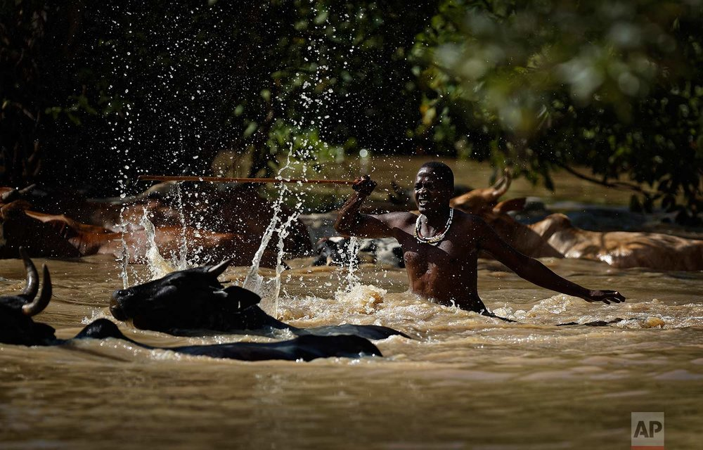 In this Thursday, March 22, 2018 photo, a Maasai herder drives his cattle across a pond as he returns from grazing them, near Mikumi National Park in Tanzania. (AP Photo/Ben Curtis)
