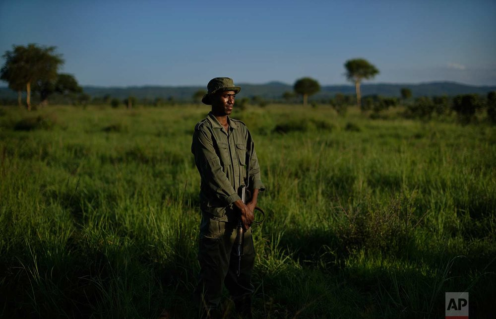 In this photo taken Wednesday, March 21, 2018, an armed wildlife ranger stands guard near a tranquilized elephant in case others approach, during an operation to attach GPS tracking collars in Mikumi National Park, Tanzania. (AP Photo/Ben Curtis)