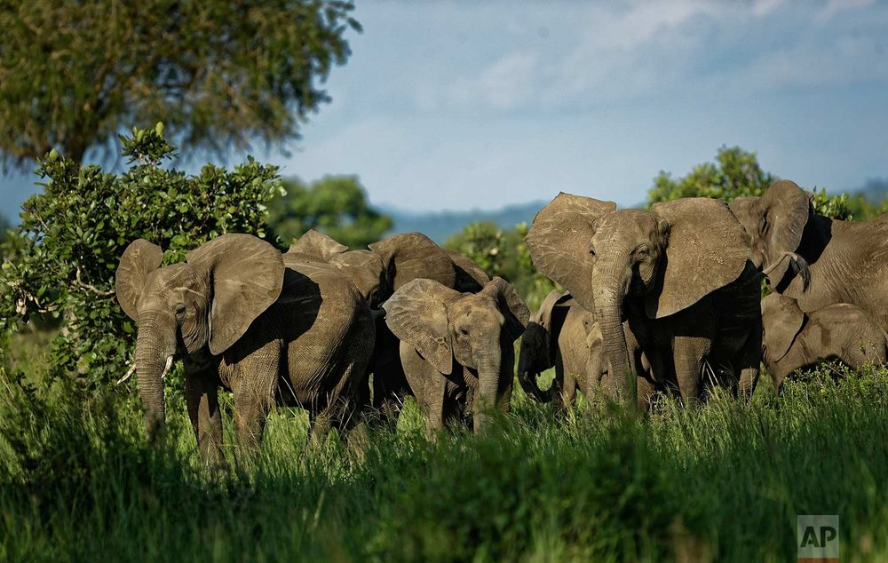 In this photo taken Wednesday, March 21, 2018, a herd of elephants form a protective circle against a perceived threat, just after one was shot with a tranquilizer dart during an operation to attach GPS tracking collars in Mikumi National Park, Tanzania. (AP Photo/Ben Curtis)