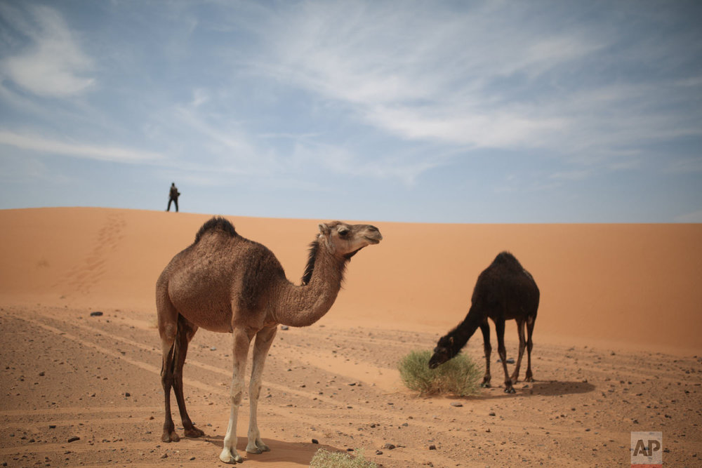 Camels graze near a checkpoint as competitors (not seen) take part in the 33rd edition of Marathon des Sables, in the Sahara desert, near Merzouga, southern Morocco, Thursday, April 12, 2018. (AP Photo/Mosa'ab Elshamy)