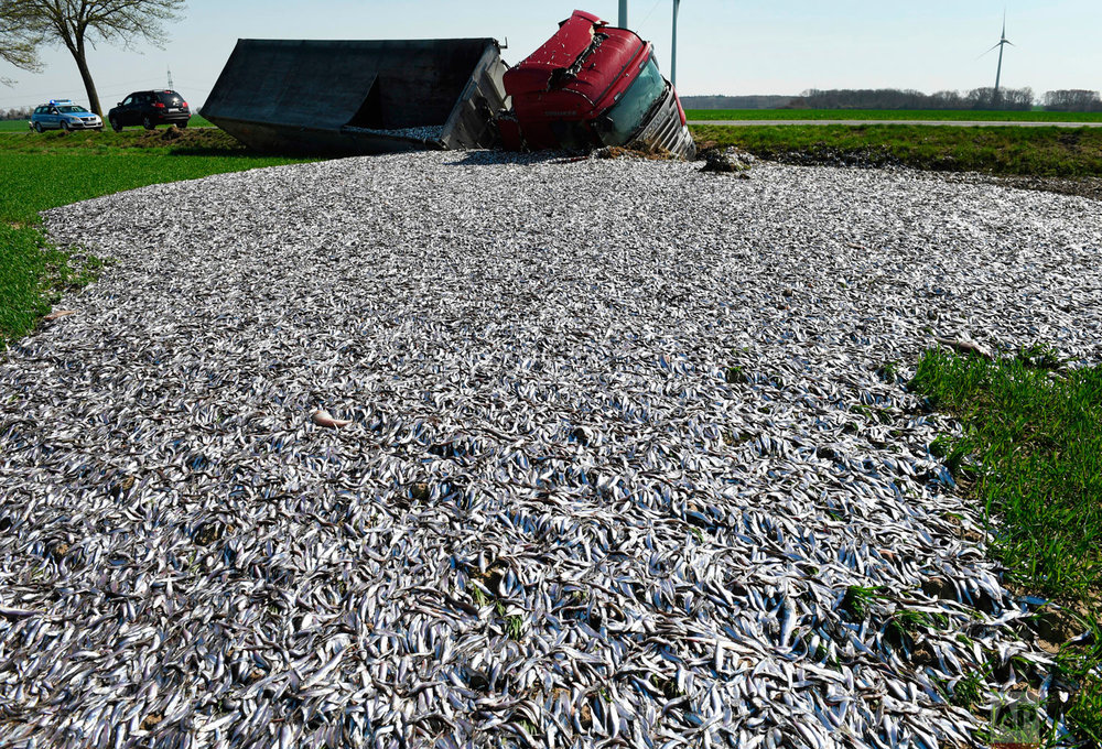 Fish lay strewn across the roadside after a truck carrying tons of fish crashed near Liepen, northeastern Germany, Friday, April 20, 2018. (Stefan Sauer/dpa via AP)