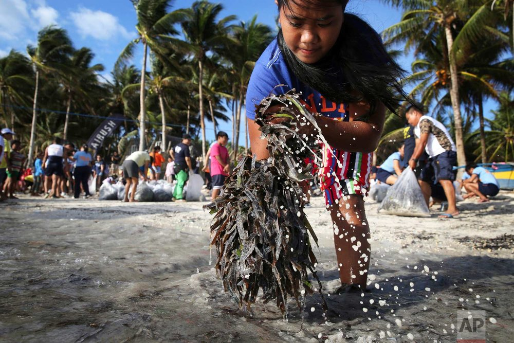 A resident collects seaweeds during a clean up drive along the beachfront as the government implements the temporary closure of the country's most famous beach resort island of Boracay, in central Aklan province, Philippines, Thursday, April 26, 2018. Boracay, famed for its white-sand beaches, closes for up to six months to recover from overcrowding and development. (AP Photo/Aaron Favila)