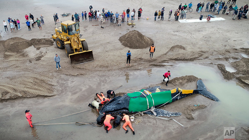 Members of the Argentine Naval Prefecture and volunteers try in vein to rescue a stranded humpback whale in Mar del Plata, Argentina, Monday, April 9, 2018. The whale beached on Saturday afternoon and died on Monday. (AP Photo/Pablo Hugo Funes)