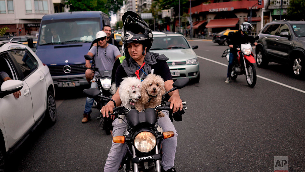In this April 21, 2018, a motorist sits at a traffic light with two toy poodles on his motorcycle in Buenos Aires, Argentina. (AP Photo/Victor R. Caivano)